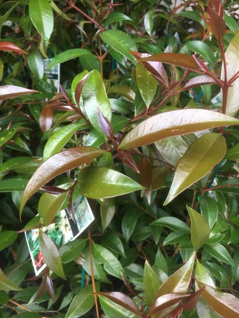 Syzygium australe- Best plants for privacy