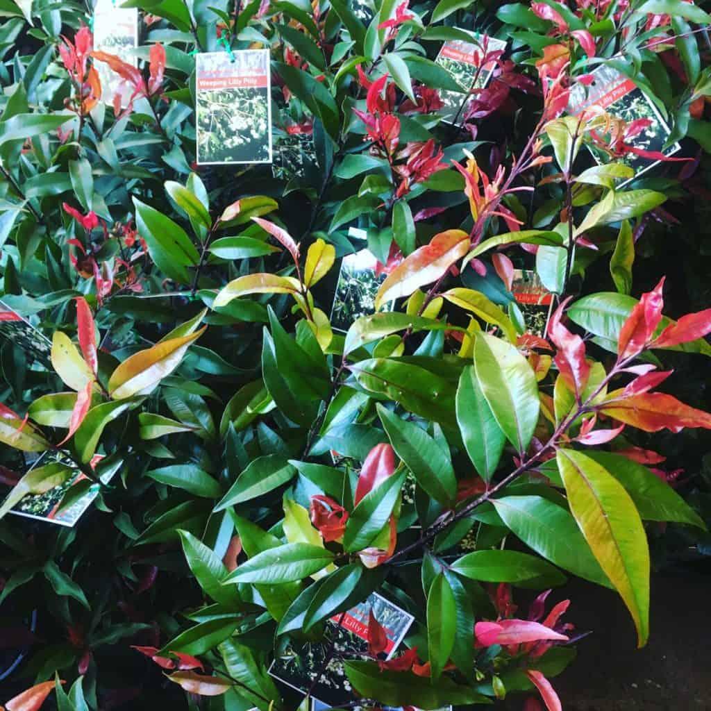 Waterhousea floribunda- Best plants for privacy