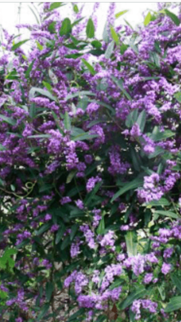 Hardenberia violacea-Best plants for privacy