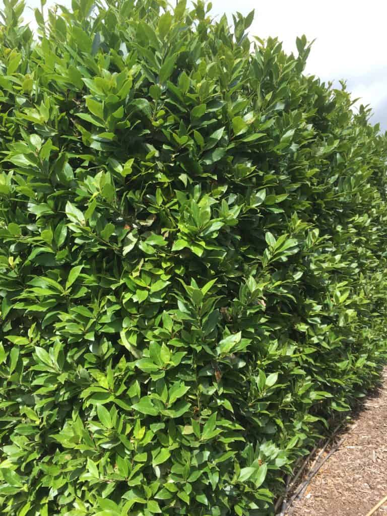 Laurus nobilis-Bay tree-Best plants for privacy