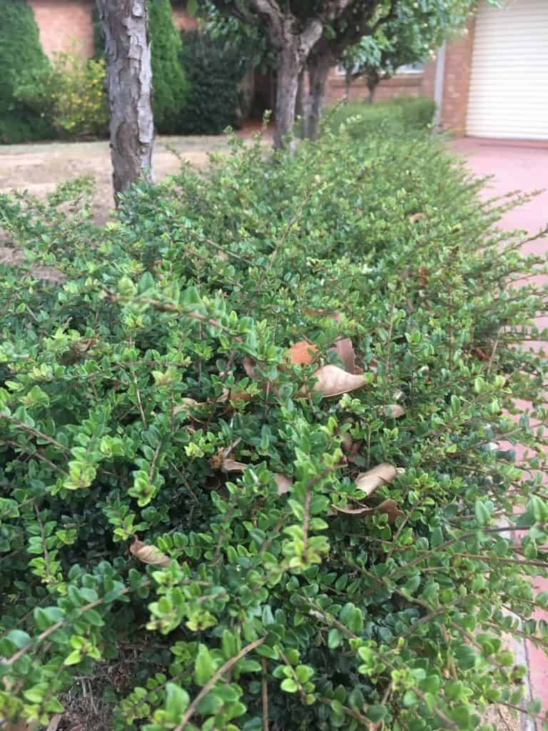 8 Great plants for a low hedge-Lonicera-Dwarf honey suckle