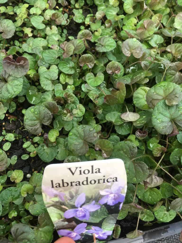 Propagate Alpine violet-seedlings