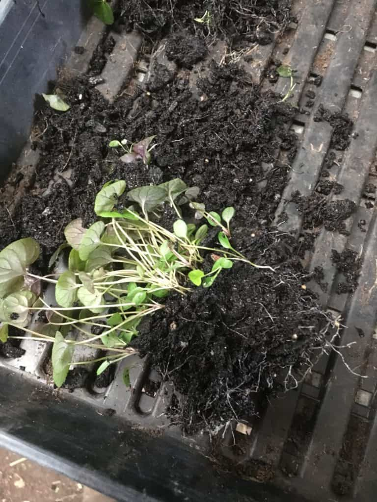 Viola labradorica propagation-seedlings