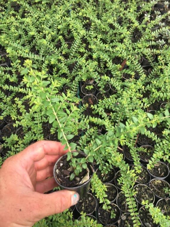 Propagate Lonicera nitida-Dwarf honeysuckle-Box leaf honeysuckle