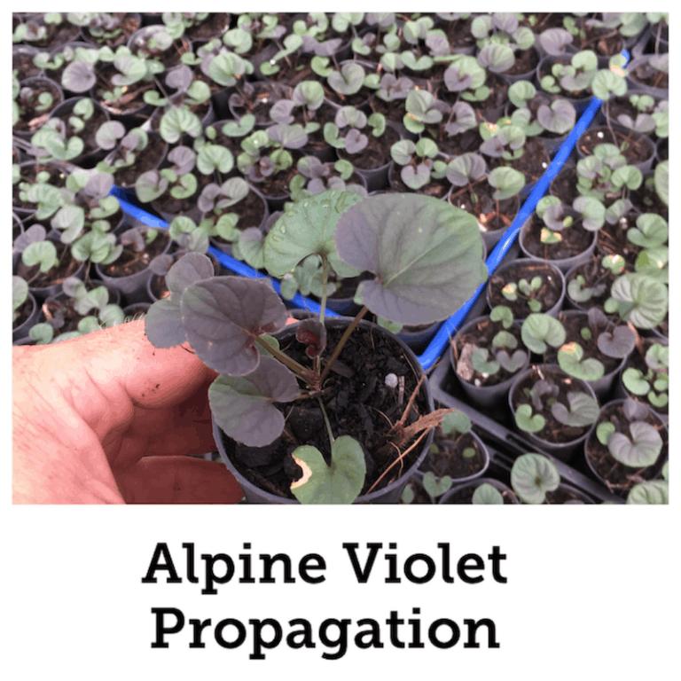 Propagate Alpine voilet