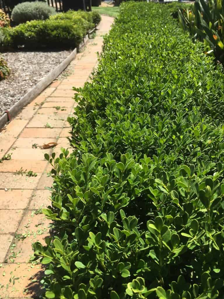 8 Great plants for a low hedge-Korean Box