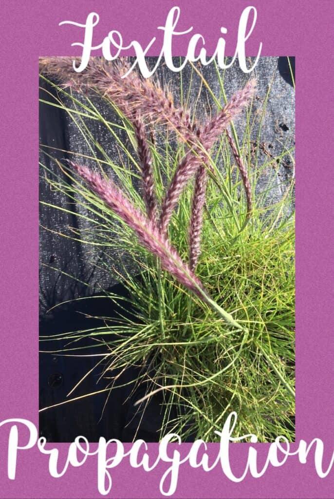 How to propagate-Fountain grass-pennisetum alopecuroides