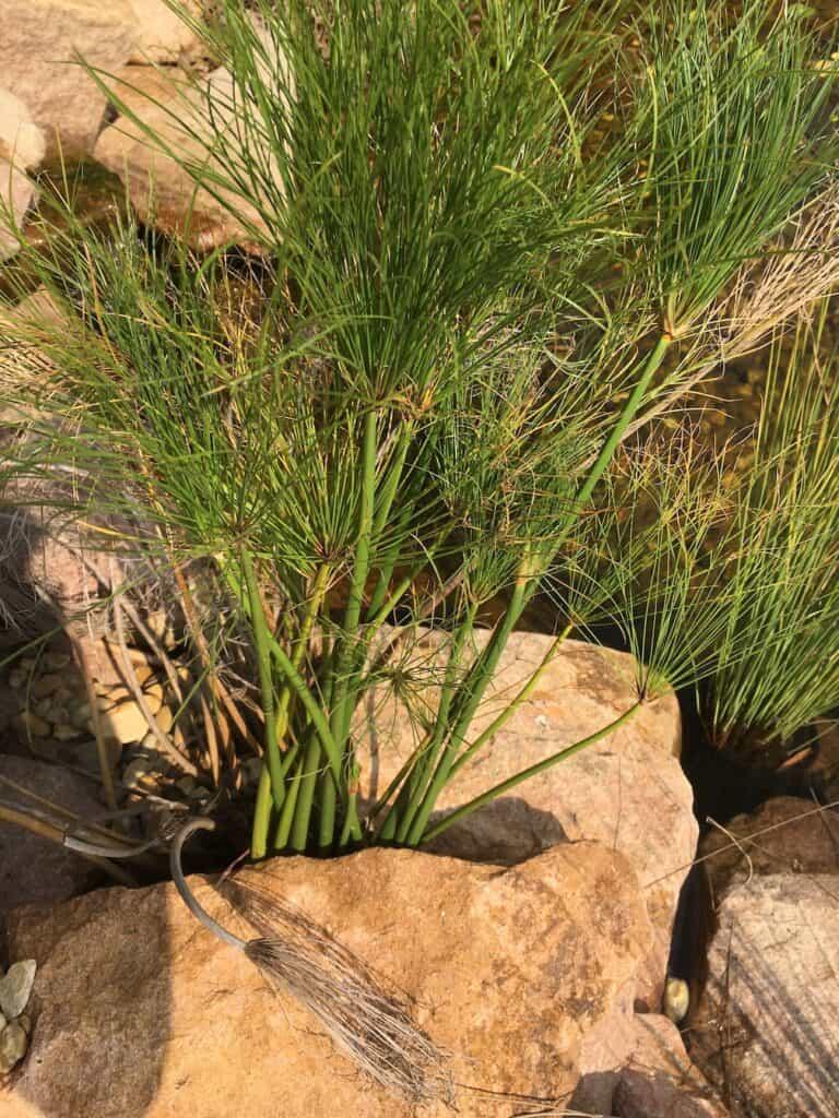 Little Pharaoh- Cyperus papyrus