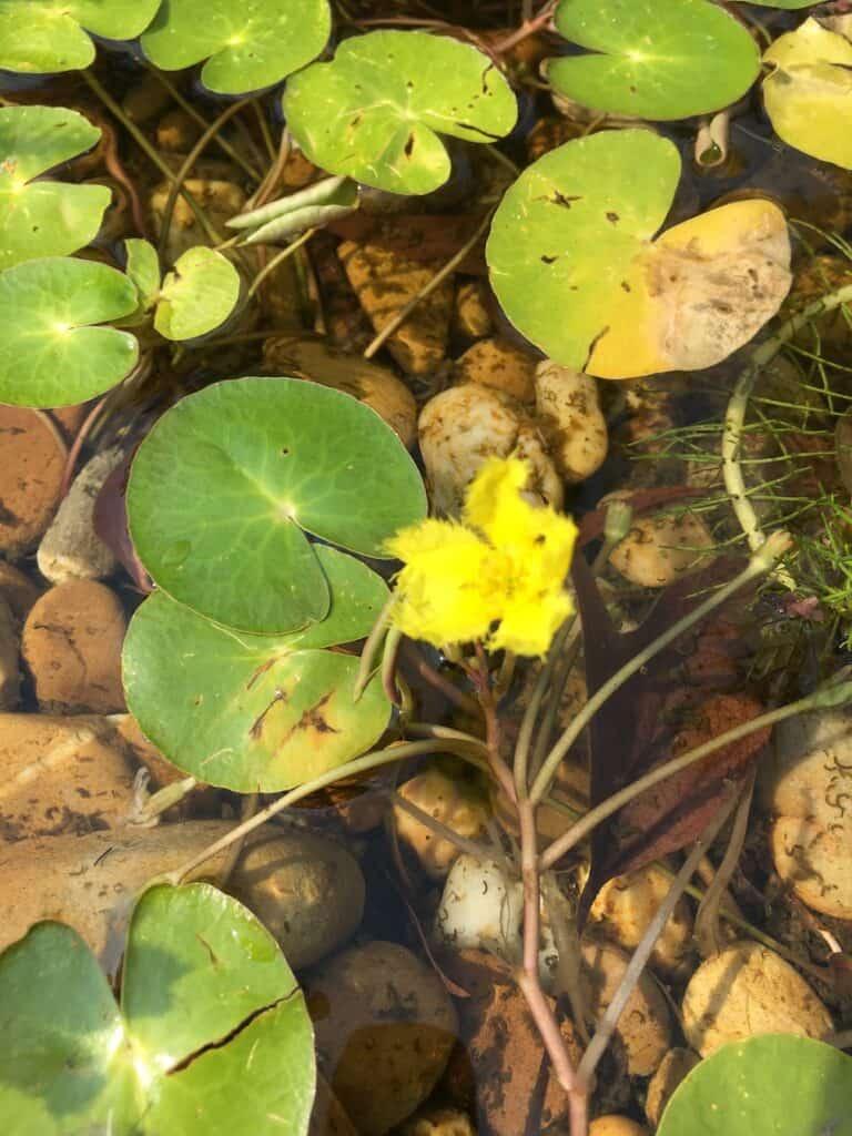 Water fringe- Nymphoides geminata