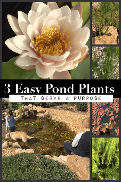 3 easy pond plants that look great and serve a purpose