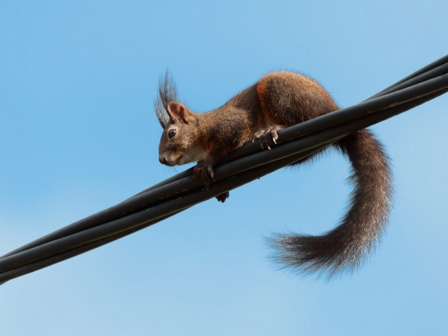 Squirrel on electrical cable