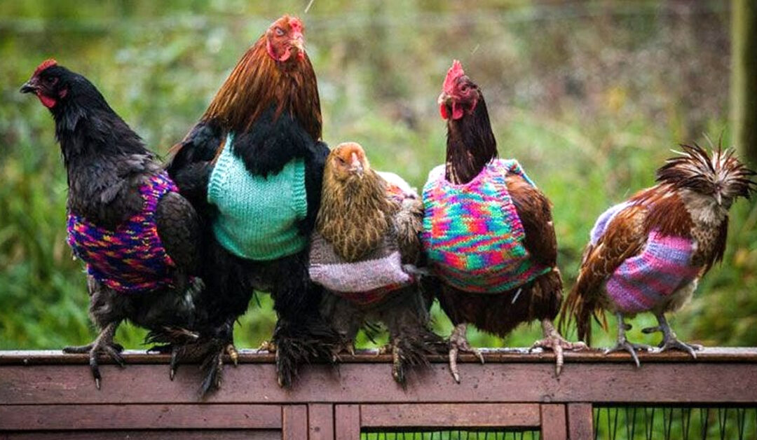 Five chickens wearing brightly colored sweaters
