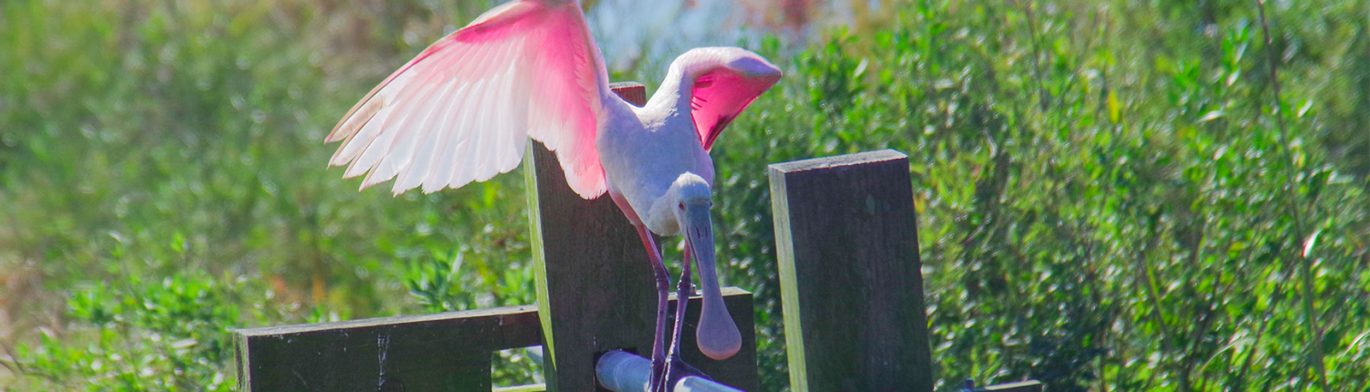 research-background-spoonbill