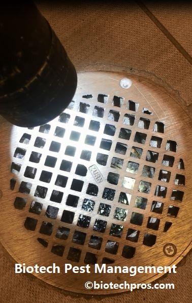 mosquito-larva-infestation-in-restroom-drain
