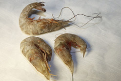 Mutated Gulf Seafood Alarms Scientists In Wake Of BP Gulf Oil Spill