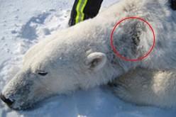 Marine Die-Offs, Polar Bears Losing Fur And Sick Animals In Alaska As Radiation Hits West Coast
