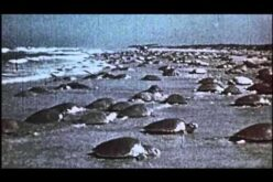 Astounding: 1947 Video of 26,000 Sea Turtles Nesting vs. Decline Since BP Oil Spill