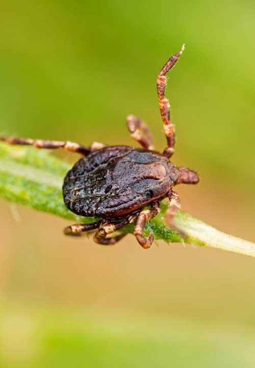 Rankin-Lawn-Care-flea-tick