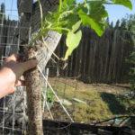 squash grown in tubes