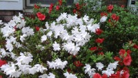 red white flowers