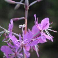 Fireweed bloom= mule deer ready to hunt