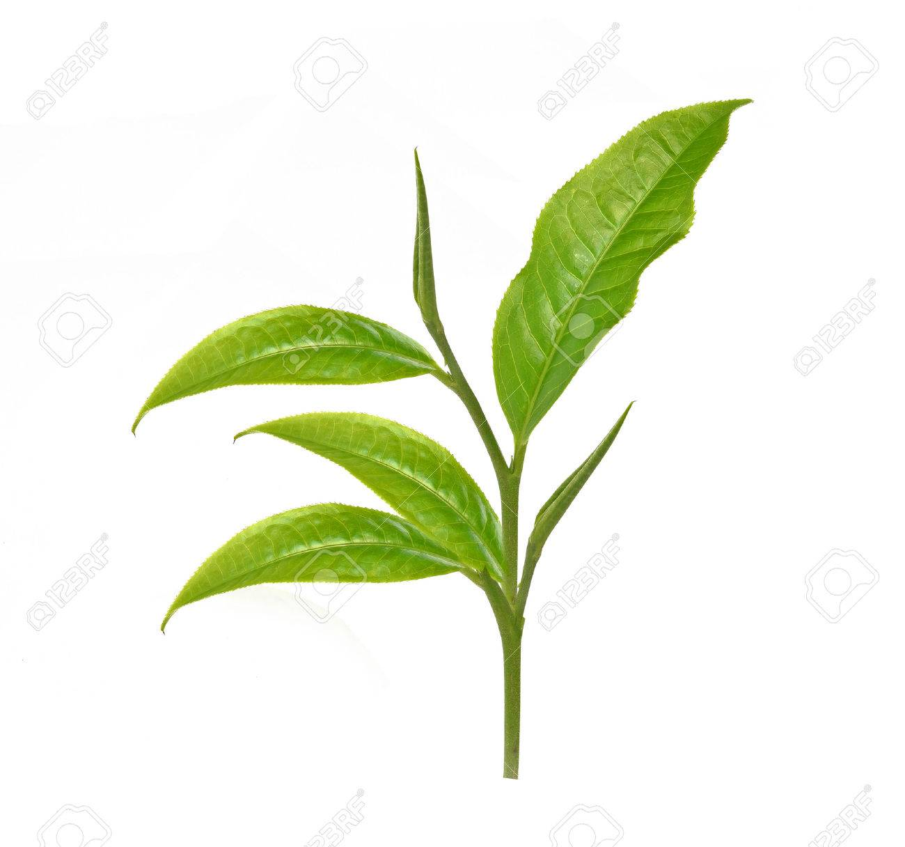 43054246-green-tea-leaf-dried-tea-leaves-in-wooden-bowls-isolated-on-white-background
