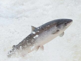 A salmon leaping out of the water