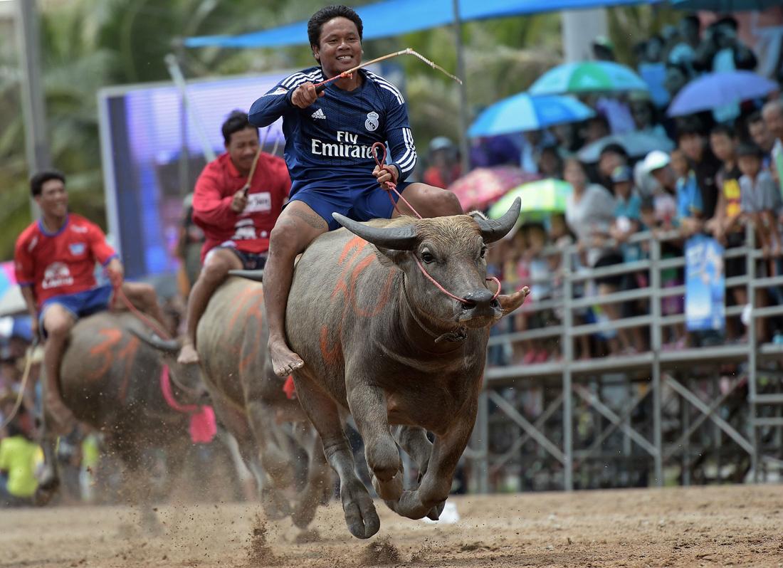 泰國百年傳統水牛節!