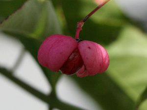 The fruit of an Eastern Wahoo tree.