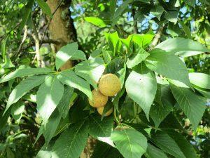 Fruit of an ohio buckeye tree