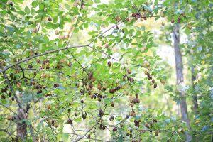 Bladdernut tree