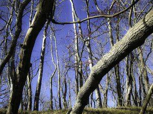 Possum haw tree