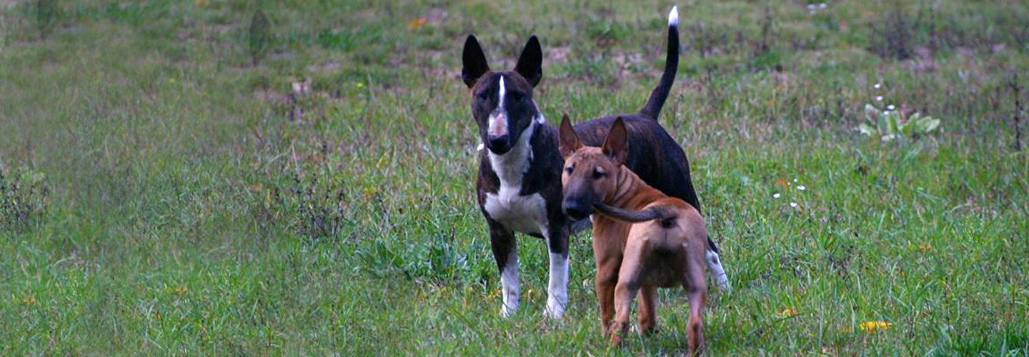 About Mini Bull Terriers Banner