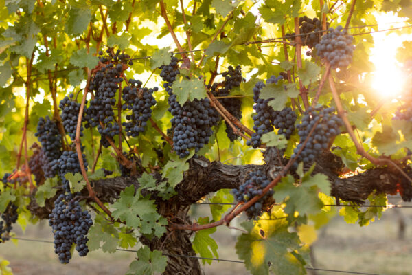 Quails Gate Winery Grapes on VinesSeptember 2020 4