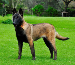 Belgian Malinois Personal Protection Dogs