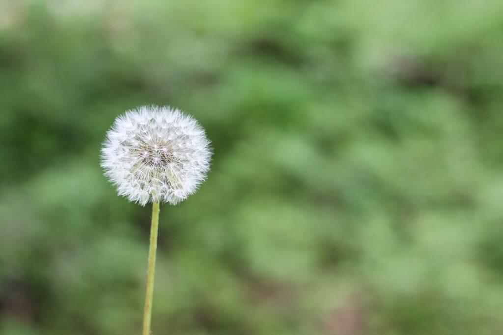 dandelion, green, spring-1112399.jpg