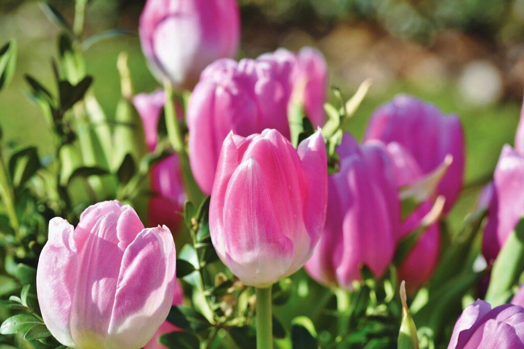 tulip, tulip blossom, tulip field-4088553.jpg