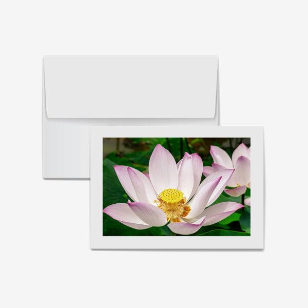 Double Pink Lotus, Cambodia