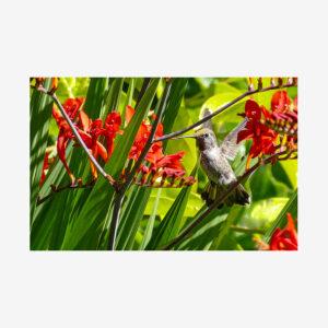 Hummingbird with Red Canna, Salt Spring Island, Canada