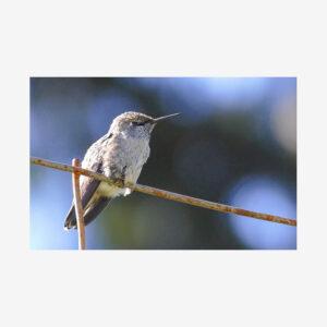 Hummingbird on Wire, Salt Spring Island, Canada