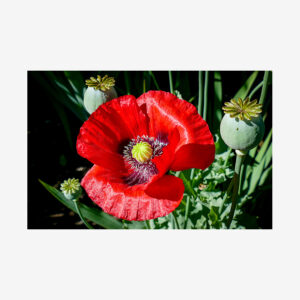 Red Poppy, Salt Spring Island, Canada