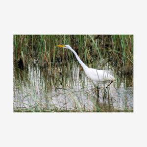 White Heron, Everglades, Florida