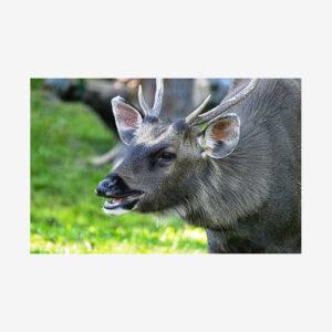 Sambar Deer, Laos