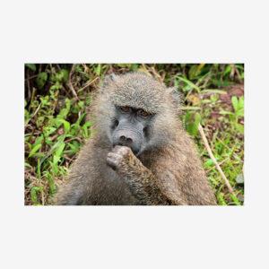 Brown-Eyed Monkey, Tanzania