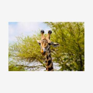 Solo Giraffe, Tanzania