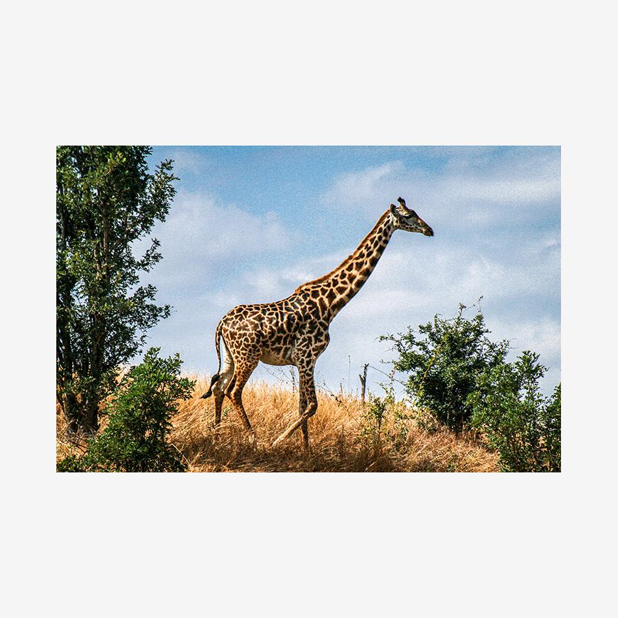Blue Sky Giraffe, Tanzania