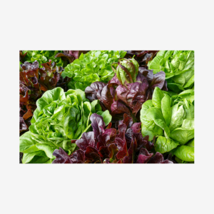 Bib Lettuce, Homestead, Florida