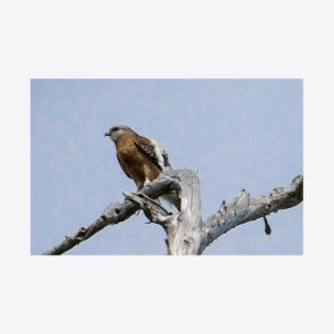 Hawk, Fakahatchee Preserve, Florida