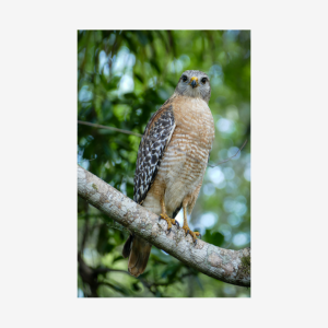 Red-shouldered Hawk, Big Cypress National Preserve, Florida