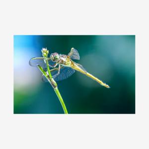 Backyard Dragon Fly, Miami, Florida